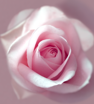 Rose by GeorgeXVII