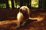 soft forestlight on dogs face by goldenretrieverfans