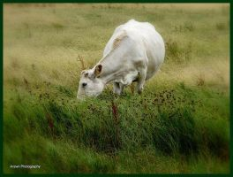 The White Cow by Arawn-Photography