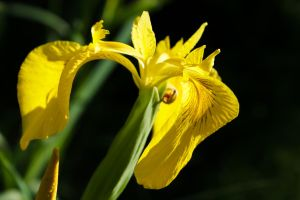 Yellow Iris by sztewe