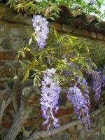 wisteria by paolaquasar