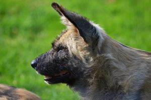 African painted dog by Bobbykim666
