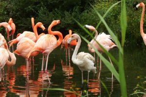 American flamingos 2 by asaph70