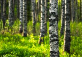 Birch Forest III by Nitrok