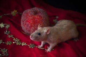 Rat on red by Morkissa