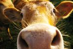 Nosey Cow by FinalTouch