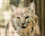Bobcat by EdgedFeather