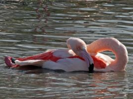 Flamingo by BlonderMoment