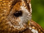 Tawny Owl 01 - Jun 12 by mszafran