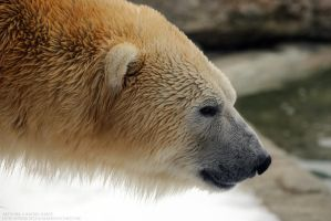 Polar Bear Side Profile by 8TwilightAngel8