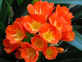 Beautiful Clivia Flowers by Kitteh-Pawz