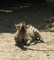 Young stripes by Tap-Photo-and-Co
