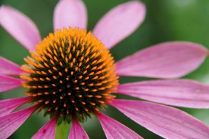 Coneflower by KMourzenko