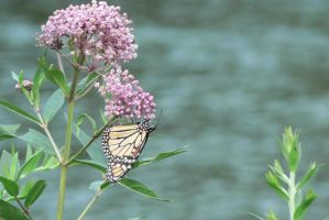 River Butterfly by dmguthery