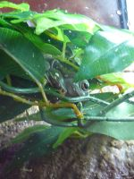 Gizmo the Tree Frog 09 by devonette