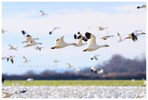 Flocking by Raymaker