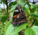 Red Admiral 2 by Lupsiberg