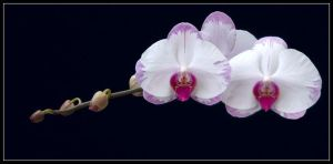 ORCHIDS 57 by THOM-B-FOTO