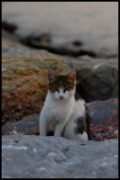 cat on the rocks by firatoz