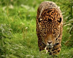 Stalking Jaguar by Yslen