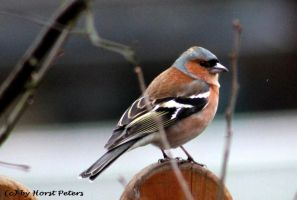 Chaffinch 9 by bluesgrass