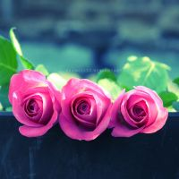 Three Pink Roses by Frances23