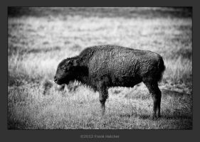 Black and White Buffalo Calf by Hatch1921