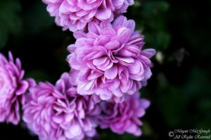 Small Purple Chrysanthemum by McGough-Photography