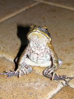 Marine/Cane Toad Stock 01 by DigitalissSTOCK