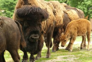 Young Wisent among herd by steppelandstock