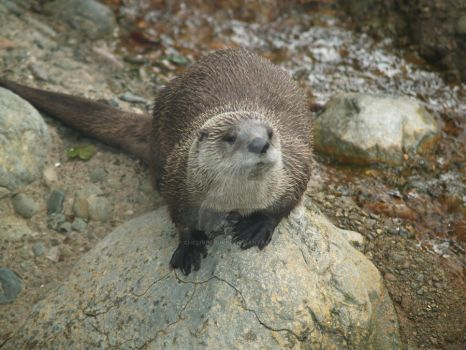 friendly otter by CheSHIreGurrl