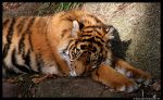 Baby Tiger: Fast Asleep by TVD-Photography