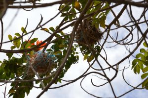 Funny nests on flamboyant tree in Martinique by A1Z2E3R