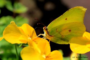 Brimstone Butterfly 3 by bluesgrass