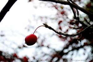 Red Drop of Winter by Jinnger