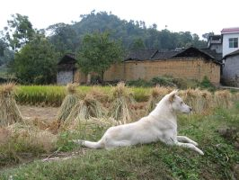 Dog on edge of the field 03 by zffffff