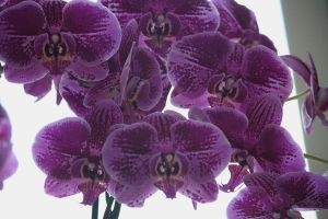 orchids 3 floriade by ingeline-art