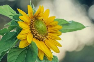 Sunflower by SurinameBlogger