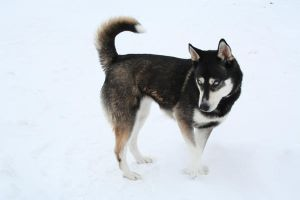 Siberian Husky Stock 012 by EssenceOfPerception