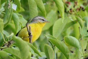 Grey Hooded Warbler by himphotography