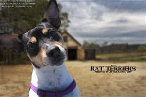 Rat-Terriers by FamousShamus109