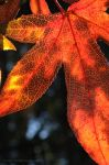 Lit Up Leaf by eugene23