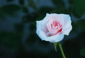 White rose by cathyss02