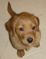 Golden Retriever Puppy Francis by FantasyStock