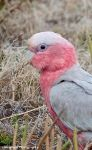 Galah without Crest by Okavanga