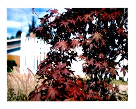 Reds of Maple by Pixieworld