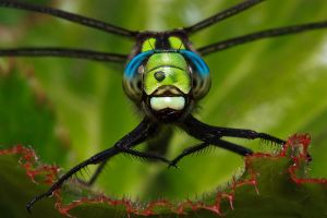 Southern Hawker by VeVe-350Z