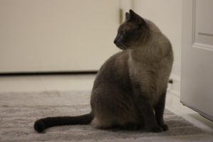 Siamese 002 by imoxyStock