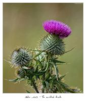 Alba 10 - The Thistle by 51ststate