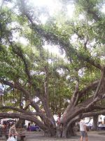 thee banyan tree by heavenly4